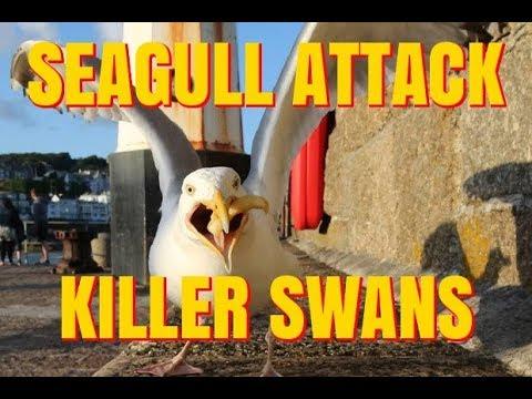 SEAGULL ATTACK & KILLER SWANS !!